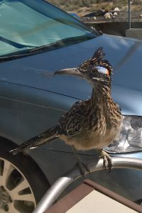 New Mexico's vibrant wildlife, the plucky roadrunner pays a visit to the author.