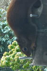 Squirrel eating at bird feeder