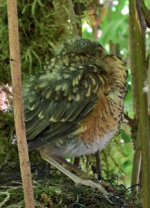 Fledgling robin naps before leaving nest
